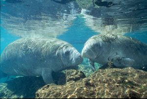 If you know me pretty well, you may know that Manatees are my favorite animals!!!!! One of my biggest wishes is to get to swim with them and get to hug one! They look so squishy and FLUFFY!!!!