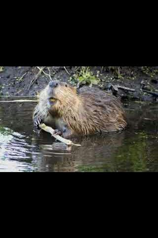 #beaver #cute #adorable #cool #notcat #want #nature #animals