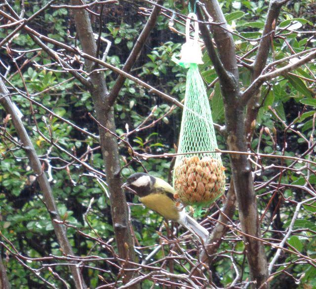 Cinciallegra - https://lefotodiluisella.blogspot.it/2018/02/birdwatching.html