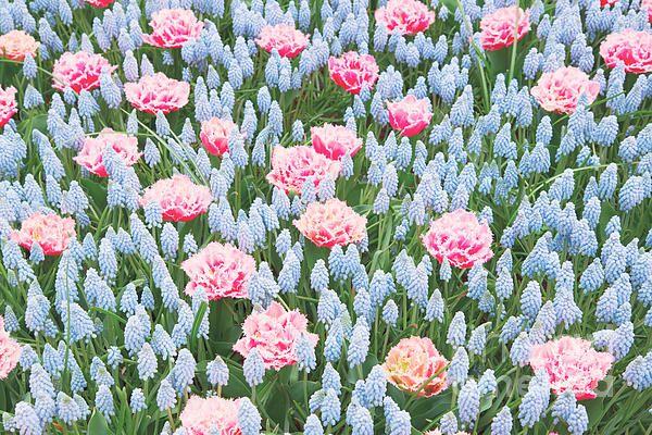 Blue and pink muskari and tulips flowerbed close up by Anastasy Yarmolovich #AnastasyYarmolovichFineArtPhotography  #ArtForHome #Flowers