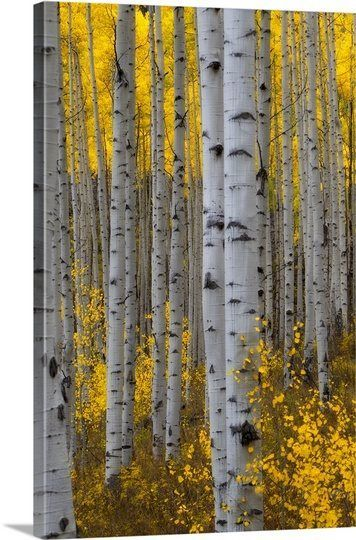 Gray And Yellow Love Silver Burch Birch Trees Birch