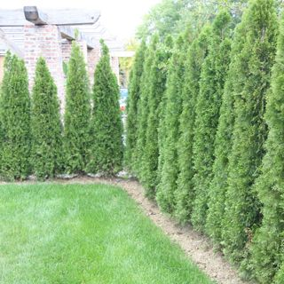 Thuja emerald green emerald green and arborvitae tree on for Privacy greenery