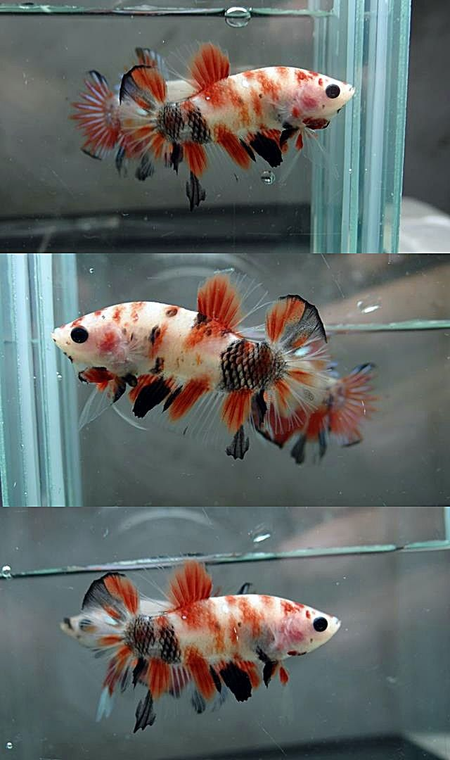 372 best images about betta fish on pinterest copper for Male koi fish