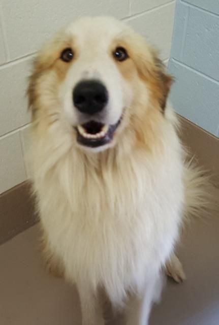 Meet brutus, a Petfinder adoptable Great Pyrenees Dog | Johnson City, TN | Petfinder.com is the world's largest database of adoptable pets and pet care information....