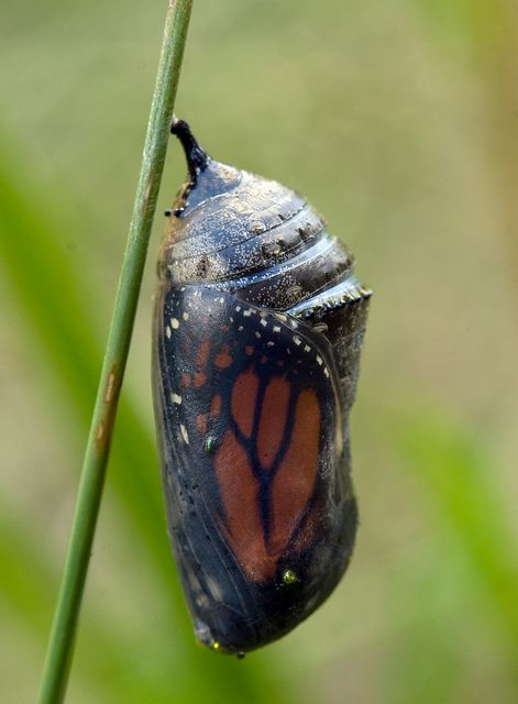 Monarch butterfly chrysalis.