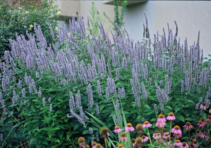 "Agastache ""Blue Fortune"" fragrant foliage Anise Hyssop"