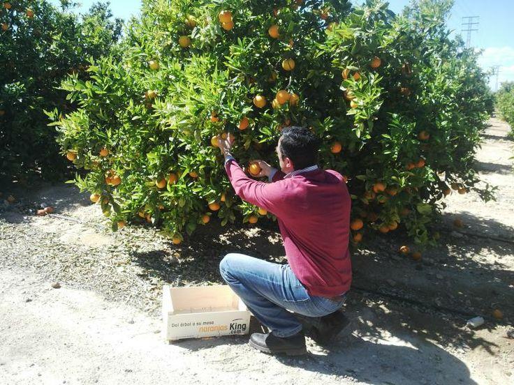Recogiendo Naranjas del árbol