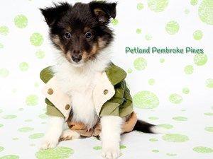 Shetland Sheep Dog | Financing Available www.petlandflorida.com/financing