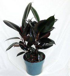 Rubber Plant Care Tips, Picture - Ficus elastica