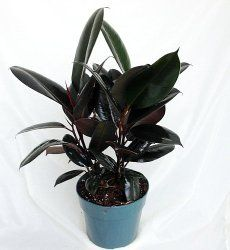 Rubber Plant Care Tips, Picture - Ficus elastica