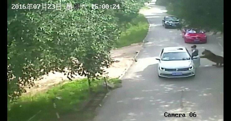Tigres atacam e matam uma mulher em um zoológico da China