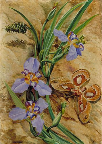 Kew: Marianne North Gallery: Painting 70: Palma de Santa Rita, and Atlas Moth, Brazil