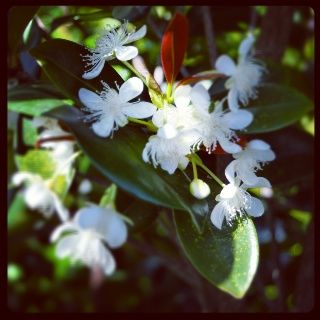 Delicate white blooms on a Grumichama... Eugenia brasiliensis