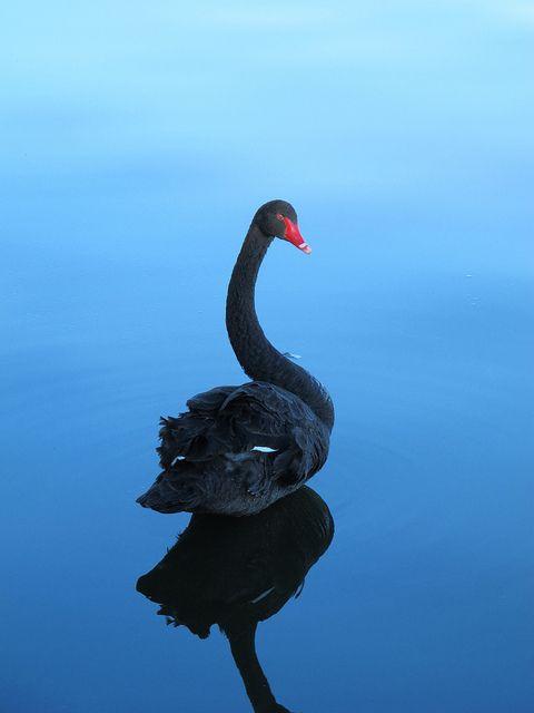 Black Swan on a glass like blue reflection water, which sets apart the swan's bright orange bill.