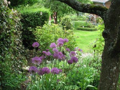Alliums unter dem Zwetschgenbaum