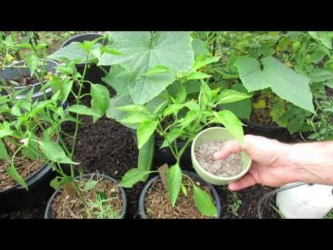 Learn expert tips for growing cucumbers in your vegetable garden. Cucumber is a relatively easy plant to grow.