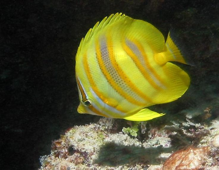 Chaetodon rainfordi - Rainford's butterflyfish - Great Barrier Reef