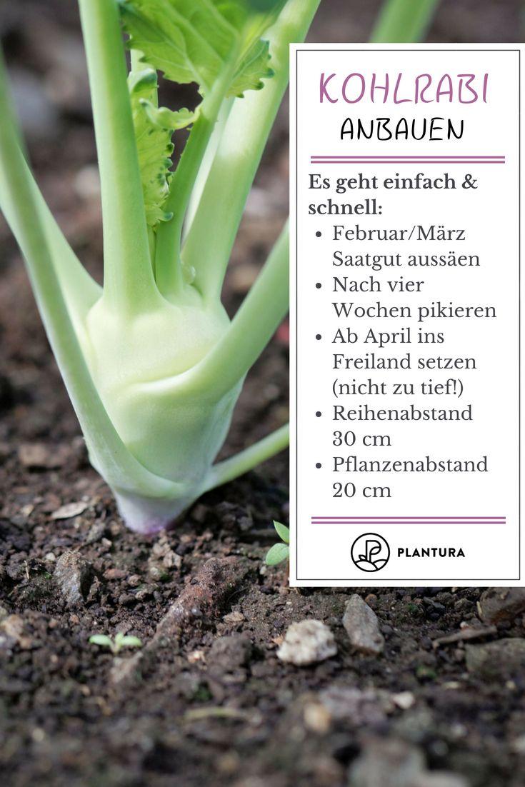 Kohlrabi pflanzen: Kohlrabi im eigenen Garten anbauen – Plantura | Garten Ideen & Tipps | Gemüse, Obst, Kräuter
