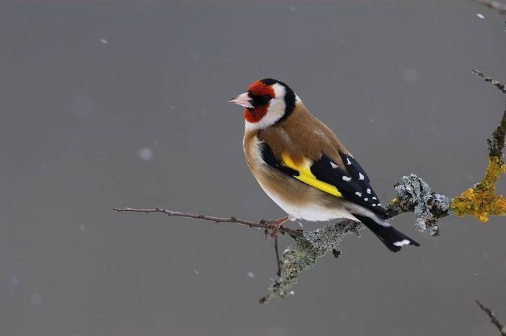 L'opération BirdLab est un travail de science participative. C'est aussi le moyen d'apprendre à mieux reconnaître les oiseaux. Ici un chardonneret élégant (Carduelis carduelis), avec son bec puissant qui sert à chercher des graines. La couleur rouge est la marque d'un mâle. © Fabrice Cahez  https://itunes.apple.com/fr/app/birdlab/id934884268?mt=8