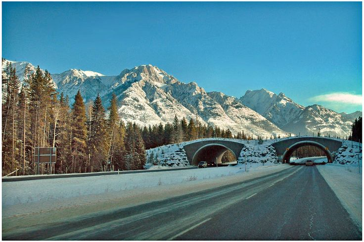 Animal crossover - Trans Canada Highway - Banff, Alberta - designed to keep animals (and people) from getting killed crossing the highway.  Some of the craftier predators figured that if you wait at one end, something tasty will eventually wander by ...