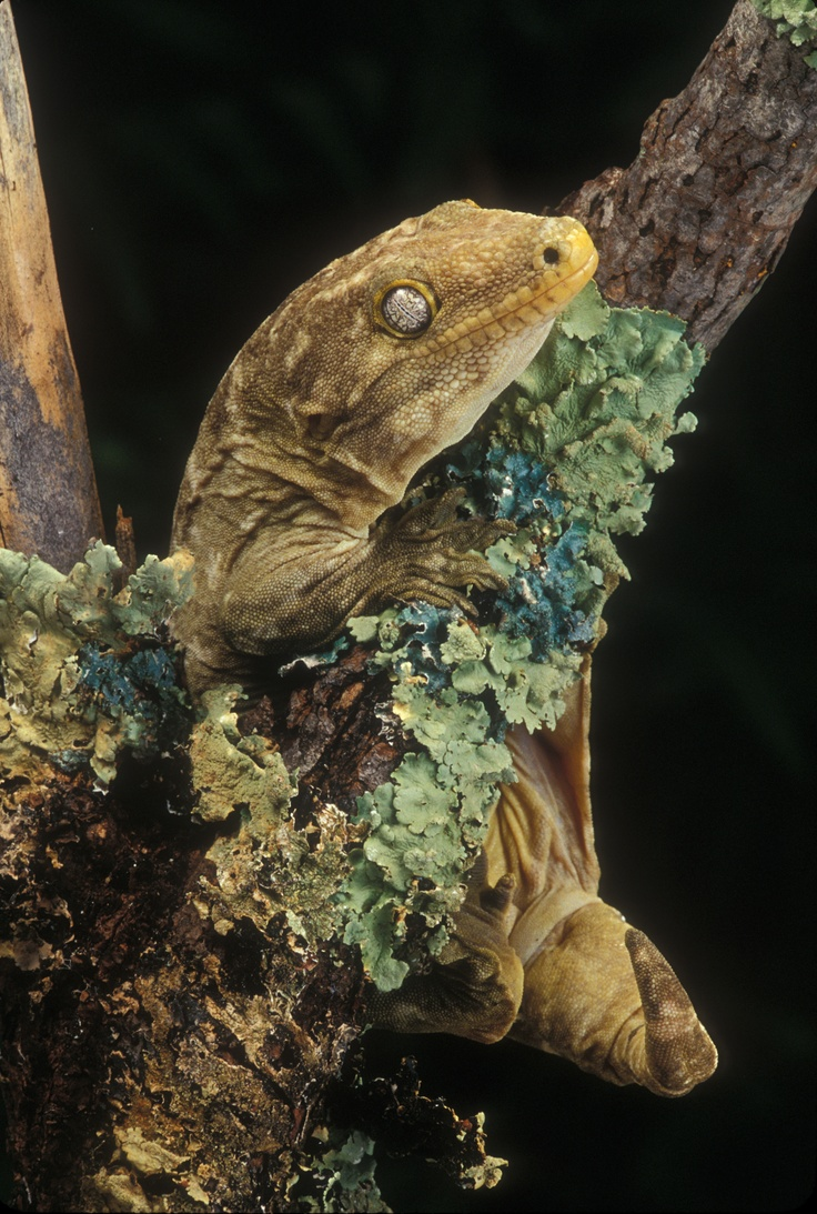 giant crested gecko - photo #37