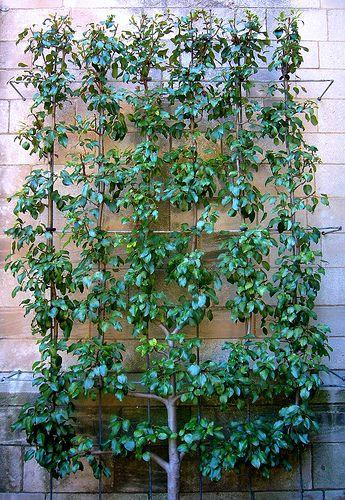 Espaliered pear tree by ggnyc, via Flickr