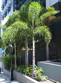 Foxtail palms. I feel like these must be the ones that are so prominent in LA planters in public areas, especially malls.