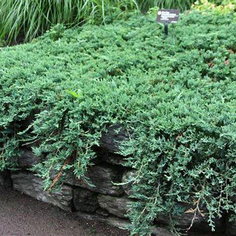 Можжевельник горизонтальный (Juniperus horyzontalis) 'Wiltonii' Хвойные деревья и кустарники   Биолит