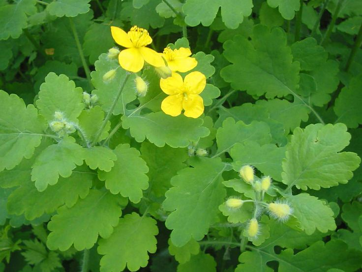 Greater Celandine is a herb that is popularly known for its milk that removes warts. It has a antimicrobial, mild analgesic, oncostatic, cholagogic, oncostatic and sedative effects. It is excellent for...  Read more here ► http://worldofmedicinalherbs.com/chelidonium-majus-greater-celandine-tetterwort/