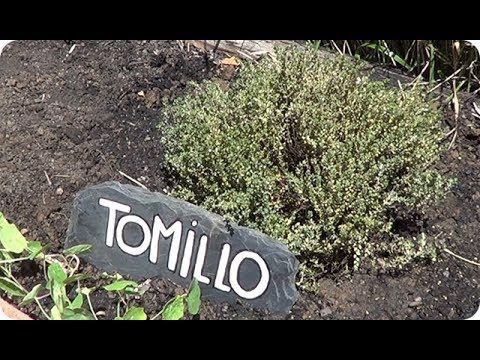 (25) Como Y Porque Plantar Tomillo En El Huerto    La Huertina De Toni - YouTube