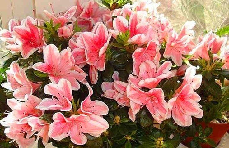 Домашняя подкормка очень важна для правильного развития комнатных растений. Своевременный и правильный уход позволит вашему растению полностью реализовать свой потенциал - будь то в буйной листве, или в прекрасном и обильном цветении.  Можно, конечно, купить удобрения в цветочном магазине, а можно
