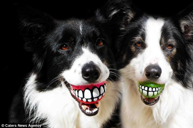 Border collies are the best dogs ever!