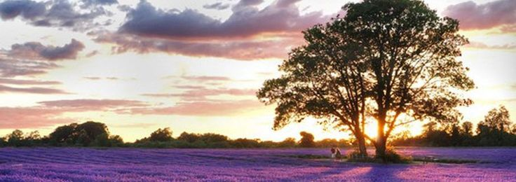 Mayfield Lavender, a family run, 25-acre lavender farm in Surrey, less than 15 miles from Central London. We grow our lavender organically with no chemical fertilisers, pesticides or herbicides and were awarded Soil Association status in 2009.
