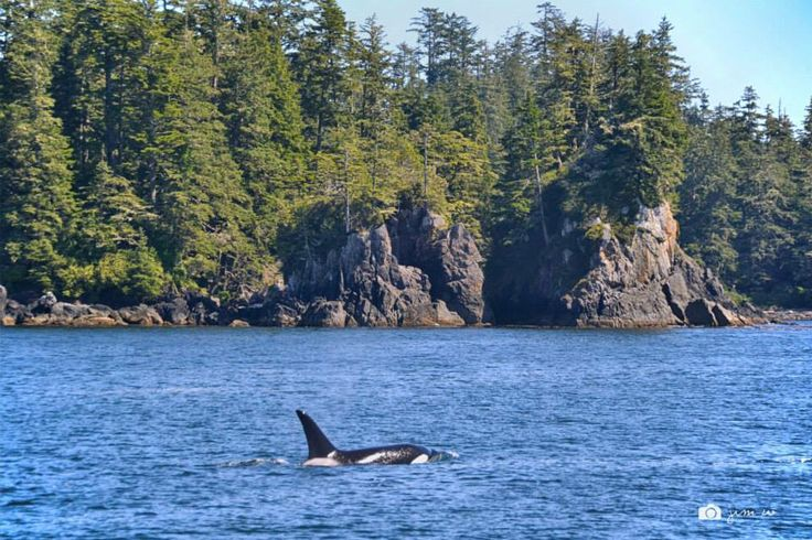 "Jim Wong says: ""We couldn't keep up with the Orcas as they left the harbour"". — at Pacific Rim National Park Reserve."