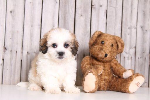 Zuchon puppy for sale in MOUNT VERNON, OH. ADN-32662 on PuppyFinder.com Gender: Male. Age: 9 Weeks Old