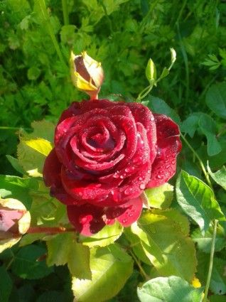rose flower red rose