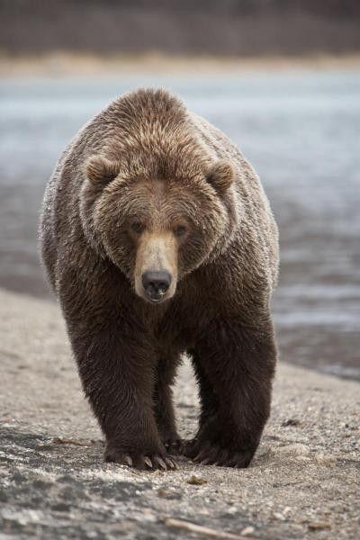 Grizzly Bear, Katmai National Park, Alaska by Breiter, Matthias - Wall Art Giclee Print or Canvas