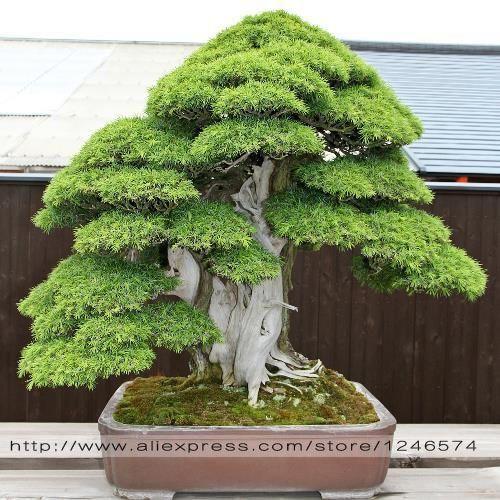 Bonsai-seeds-30-pcs-Japanese-font-b-Red-b-font-font-b-Cedar-b-font-Cryptomeria.jpg 500×500 pixels