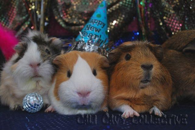 Peruvian guinea pigs