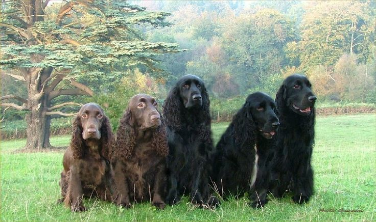 Field Spaniels | The Field Spaniel has a thin and glossy coat can be speckled or just plain tan with white spots.