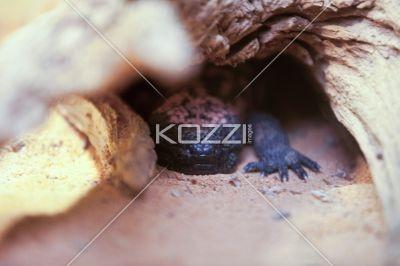 gila monster guarding burrow - Gila Monster guarding burrow entrance from predators.