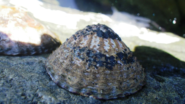 Edible clam.