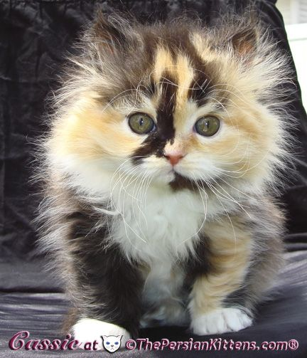 Calico Persian kitten  thought you would love this sis :-)