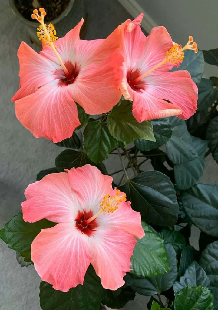 Take Care Of A Hibiscus Plant Flowersandflowerthings In 2020 Hibiscus Plant Summer Flowers To Plant Growing Hibiscus