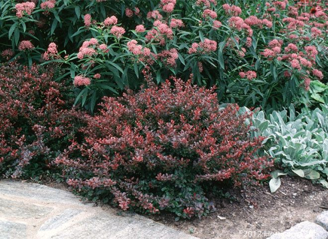 Dwarf Species Of Shrubs And Evergreens Google Search