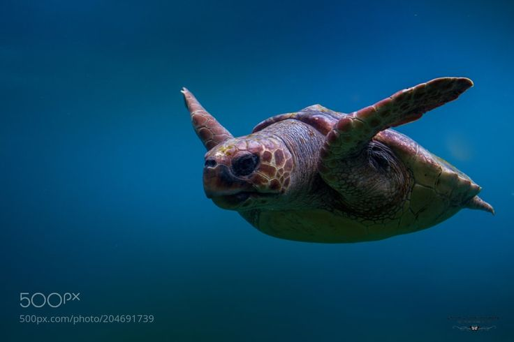 Tortue Caouanne by OeildeFranck #nature #photooftheday #amazing #picoftheday #sea #underwater