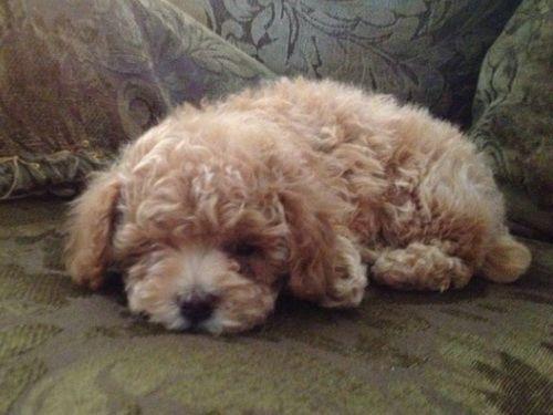 Teddy Bear Dog Breed Bichon Frise Bear Dog Breed Dog