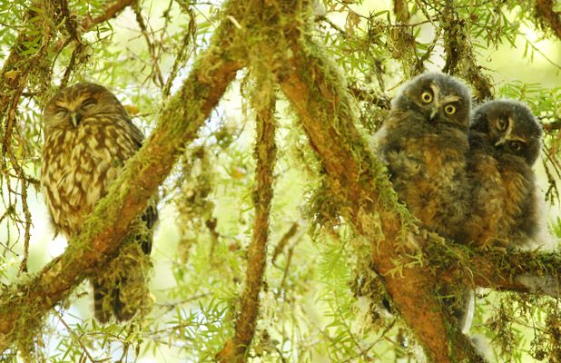 Ruru or Morepork and two chicks in the Eglinton Valley, Fiordland, New Zealand. Iris Jacobs Photographer