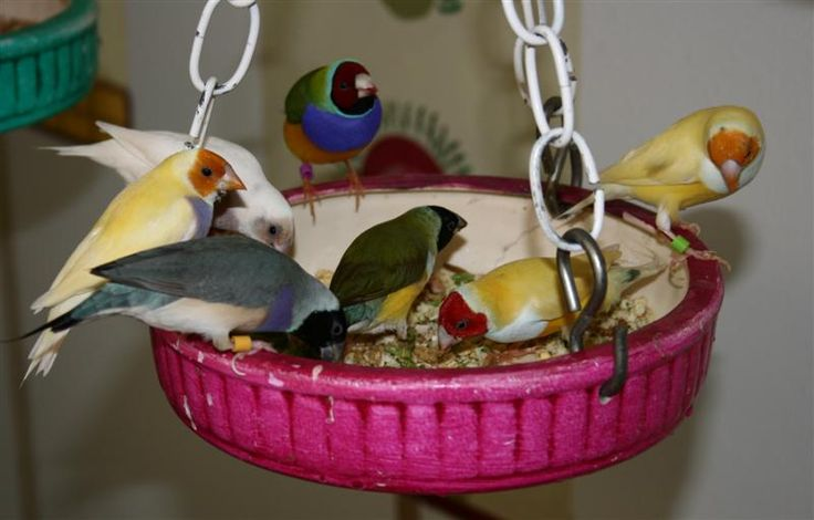 Finches Care - The Proper Way of Caring and Feeding Your Finches