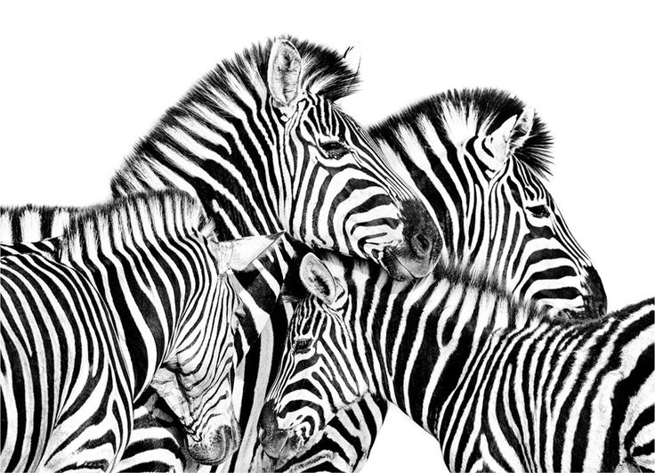 Zebra family portrait in BW print